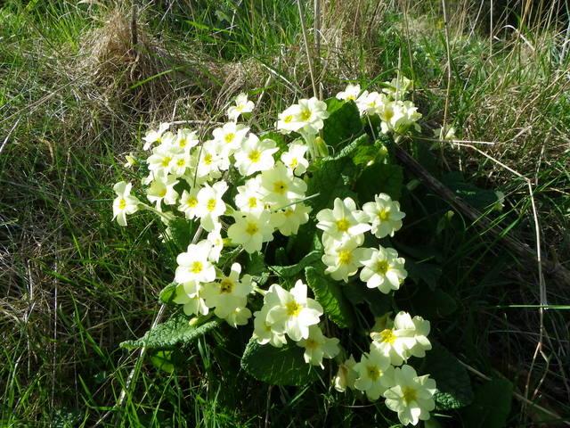 Primroses (Primula vulgaris), St Abbs Churchyard