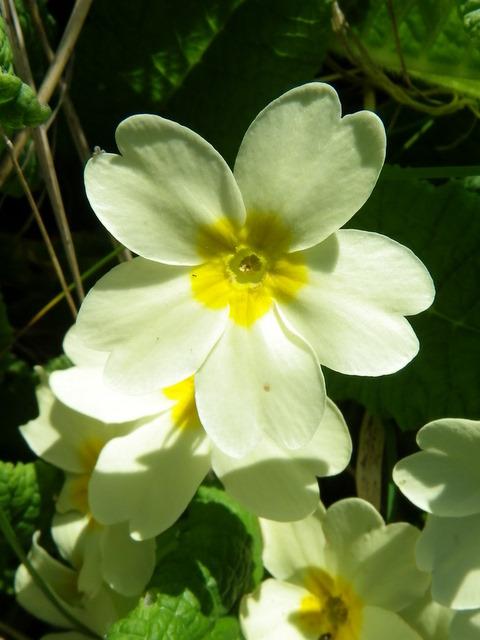 Primrose (Primula vulgaris), St Abbs Churchyard