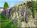 The wall beside the road is decked out in  mauve Aubretia and ferns.