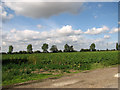 TF5717 : Sugar beet crop north of Pullover Road (A47) by Evelyn Simak