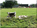 TF6415 : Calves resting on North Runcton Common by Evelyn Simak