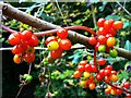 SU1789 : Black bryony (Tamus communis), Stanton Park, Swindon by Brian Robert Marshall