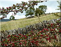 SK2067 : Hillside field, wall, and berries by Andrew Hill