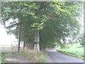 SJ5171 : Beech trees alongside Dark Ark Lane by Jonathan Thacker