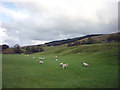 SD7689 : Sheep at Cross Thwaite, Garsdale by Karl and Ali