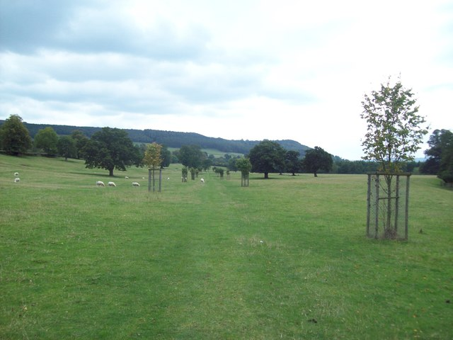 Grove of Young Trees on the Chatsworth Estate