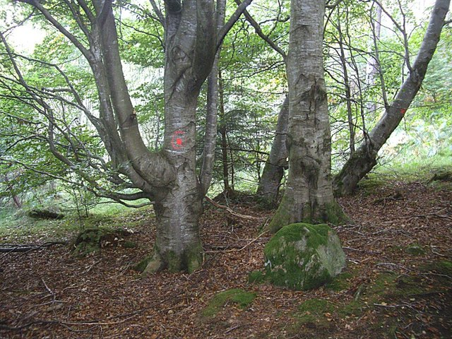Forest path mark on a beech tree