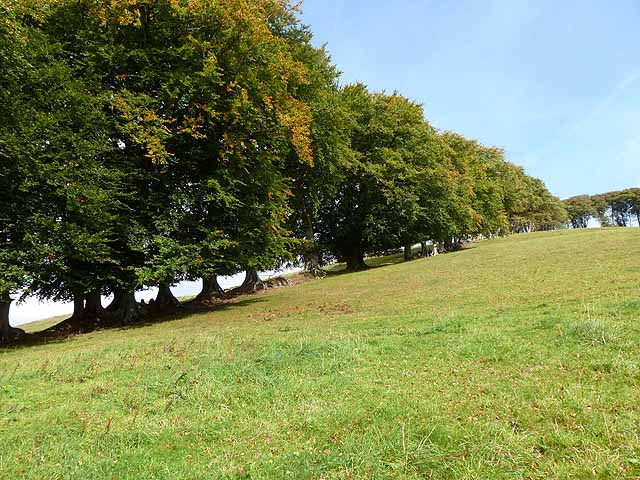 Beech trees above Halsway