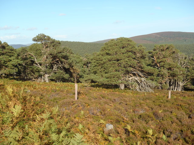 The fringe of the Forest of Glen Tanar