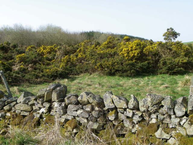 Gorse near Abbey St Bathans