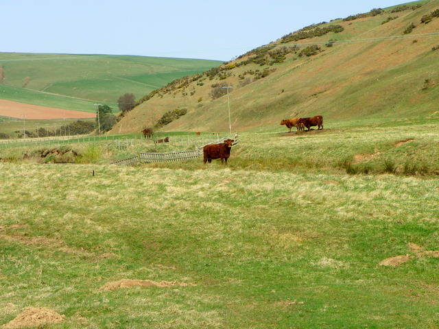Cattle, St Agnes