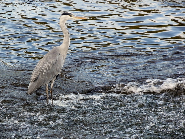 Grey Heron at Northenden Weir