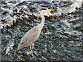 SJ8390 : Grey Heron at Northenden Weir : Week 39 winner