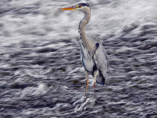 Grey Heron, Northenden Weir