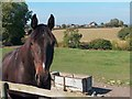 SK3379 : Horse on Barnes Lane with view to Upper Birchitt Farm by Neil Theasby