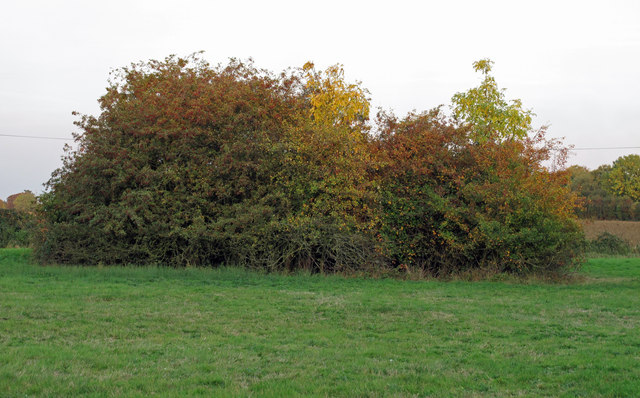 Hawthorn thicket, Crabs Green