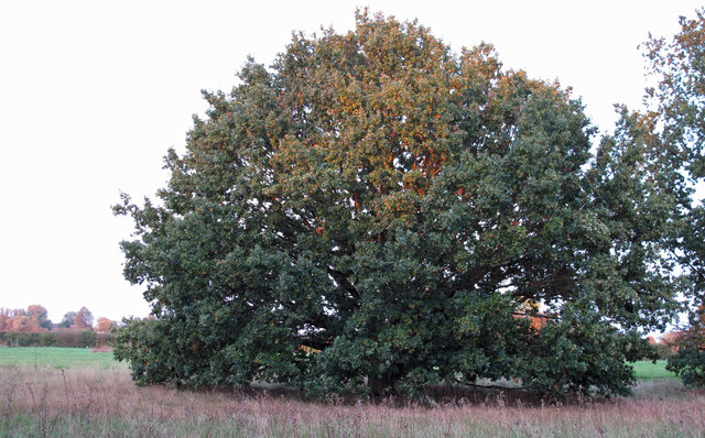 Oak on Crabs Green