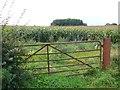 ST6463 : Maize Field by Nigel Mykura