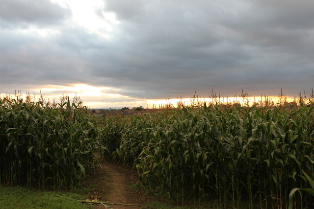 Sunset over the Cornfields, Monarch Way
