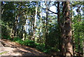 TQ1443 : Conifers, Leith Hill by Nigel Chadwick