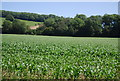 TQ4858 : A field of maize by Nigel Chadwick