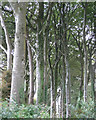 SX8449 : Beech shelterbelt southeast of Ash House  by Robin Stott