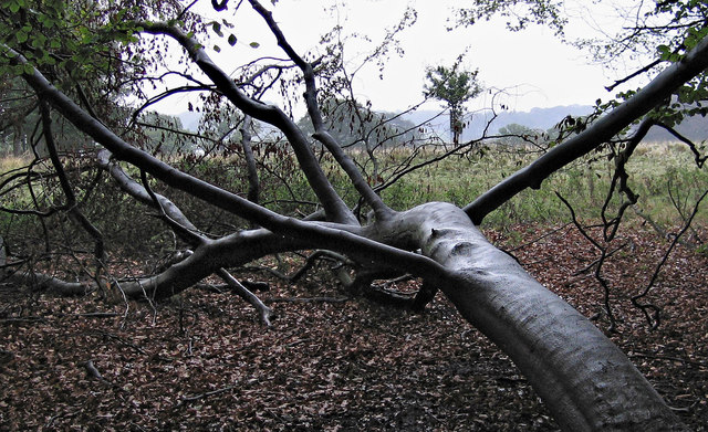 Fallen tree in Tatton Park (1)