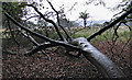 SJ7579 : Fallen tree in Tatton Park (1) by Dave Croker
