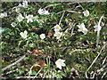 SK1574 : Wood Anemones in Tideswell Dale by Eileen Littler