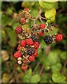 SX9065 : Blackberries, Stantaway Hill by Derek Harper