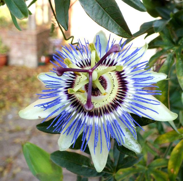 Blue Passionflower (Passiflora caerulea)