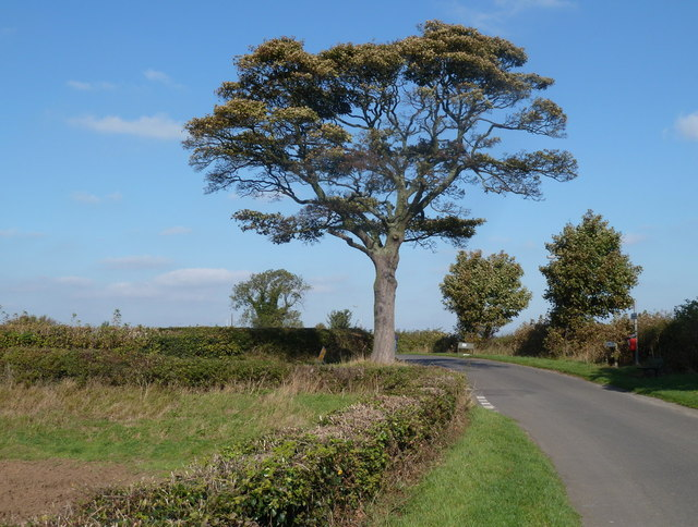 Tree by a lane junction near Glapwell