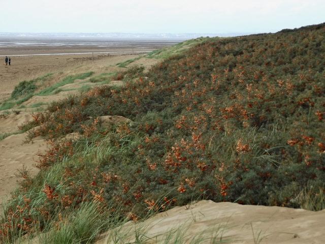 Sand dunes, Burnham on Sea