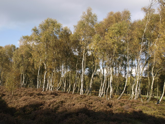 Beech trees on the moor