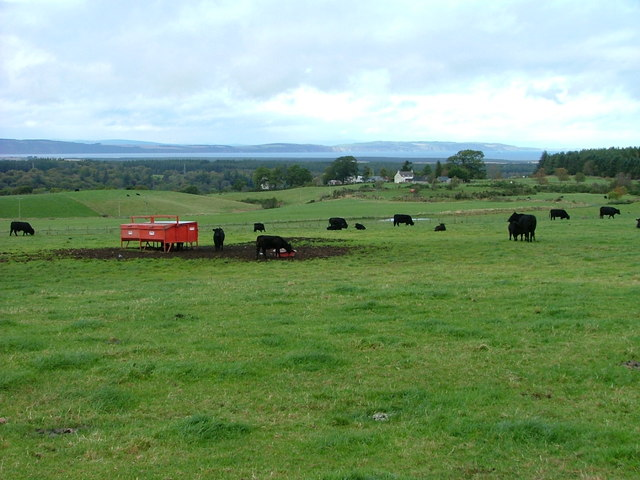 Cattle grazing at Newlands of Budgate