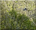 SK2063 : Heron in flight through trees by Peter Barr
