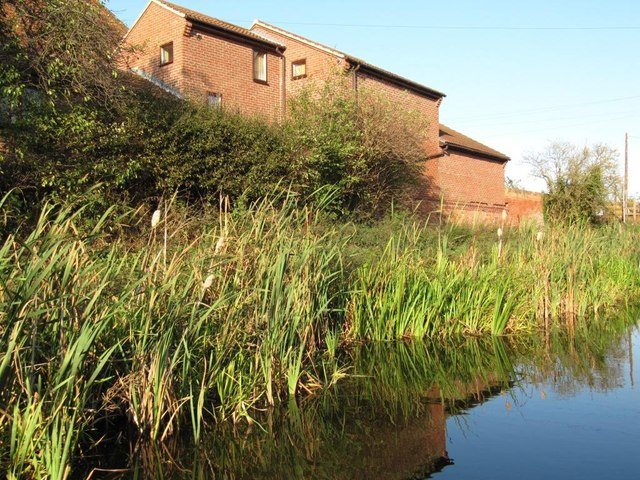Bullrushes along the towpath, Misterton