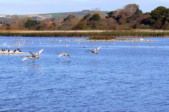 Waterbirds in flight, Radipole Lake Nature Reserve, Weymouth