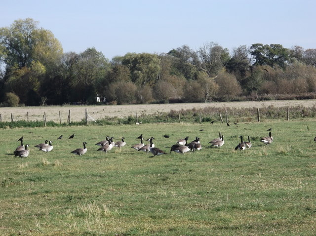 Geese in a meadow beside the Thames at Kelmscott
