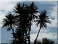 SZ0890 : Bournemouth: palm tree in silhouette by Chris Downer
