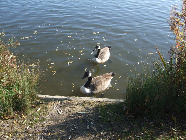 Canadian Geese on the lake at Hainault Forest Country Park