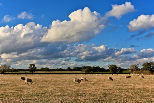 Sheep Grazing, nr. Studley Castle Hotel