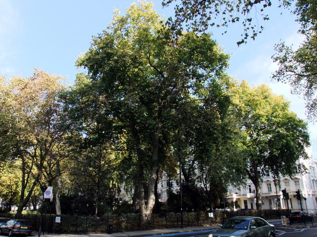 Trees in St Georges Square, Pimlico