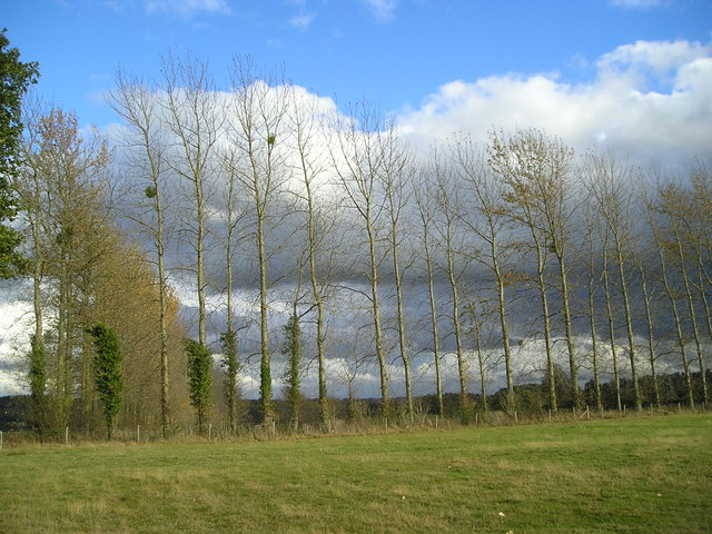 Poplars and mistletoe