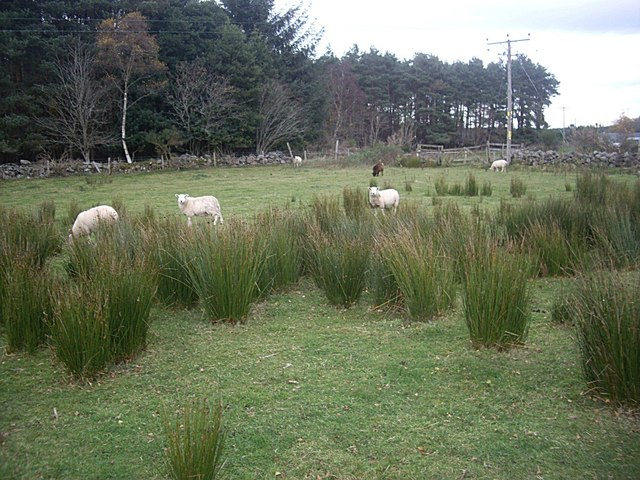 Sedge and Sheep at Upper Lochton