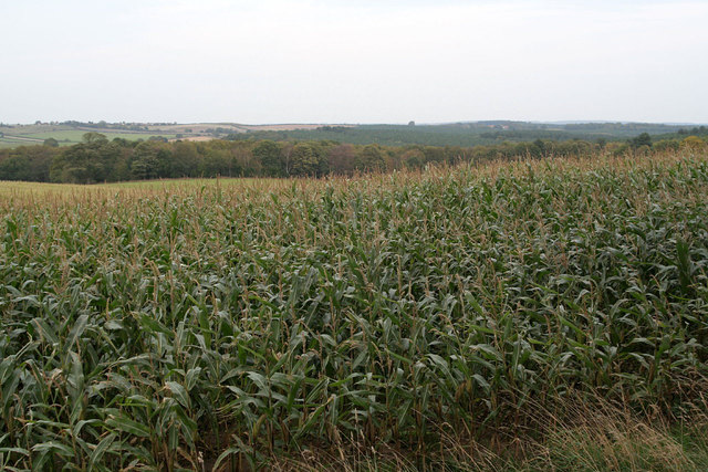 Maize crop near Blidworth Lodge