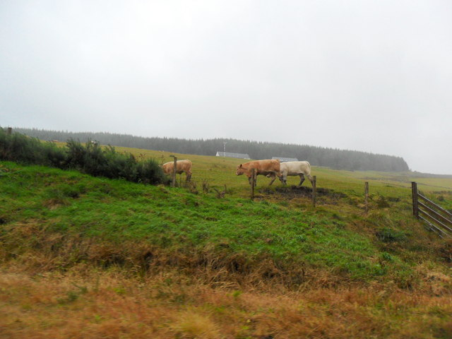Cattle at Easter Gatherleys, Perthshire