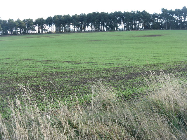 Winter wheat at Kinleith