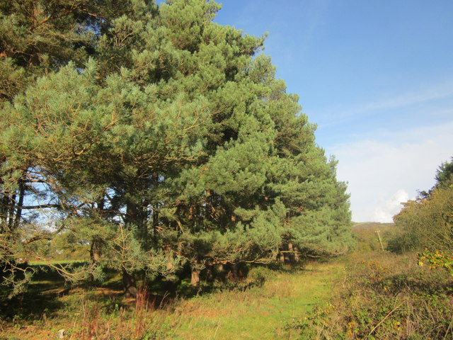 Rhes o goed pinwydd / A row of pine trees