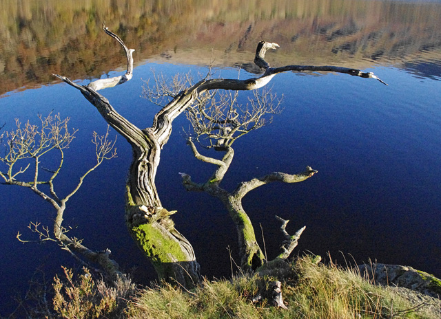 Thirlmere - old tree